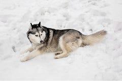 En nieve el huski está poniendo Fotos de archivo libres de regalías