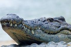 En nile krokodil, Crocodylusniloticus Royaltyfri Foto