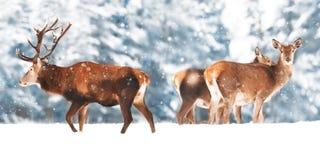 En nobel hjort med kvinnlig i flocken mot bakgrunden av landskap för vinter för härlig vintersnöskog ett konstnärligt arkivfoto