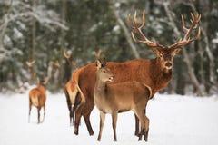 En nobel hjortman med kvinnlign i flocken mot bakgrunden av landskap för vinter för härlig vintersnöskog ett konstnärligt arkivbild