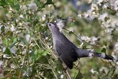 En nordlig härmfågel Royaltyfri Bild