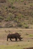 En noshörning i den Pilanesberg nationalparken, Sydafrika Arkivbilder
