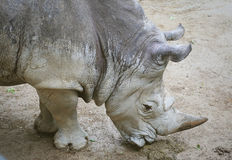 En noshörning på jordningen Arkivfoto
