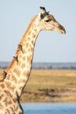 En närbild av en giraff med fåglar i Botswana Arkivbilder