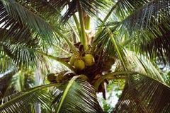 En närbildbild av kokosnötter som hänger på en palmträd Arkivbilder