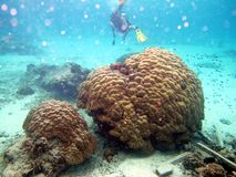 En ny formkorall i ett tropiskt saltvattens- hav Arkivfoton