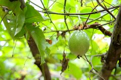En ny grön rå passionfrukt på trädet arkivfoto