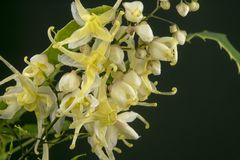 En ny introducerad barrenwort som namnges Epimedium wushanense Royaltyfri Foto