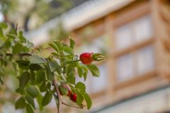 En ny mogen röd hund-ros på en grön filial med sidor mot ett suddigt fönster royaltyfria bilder