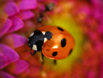 En nyckelpiga på en blomma Arkivfoto