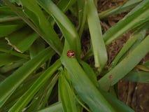 En nyckelpiga på gräsplanen arkivfoto