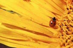 En nyckelpiga som täckas i pollen som kryper över en solros Arkivbild