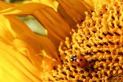 En nyckelpiga som täckas i pollen som kryper över en solros Royaltyfri Fotografi