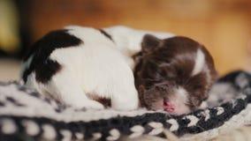 En nyfödd valp sover sött i en socka Bekymmerslöst och försvarslöst husdjur arkivfilmer