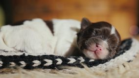 En nyfödd valp sover sött i en socka Bekymmerslöst och försvarslöst husdjur royaltyfri fotografi