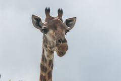 En nyfiken giraff som stirrar ut in i avståndet Royaltyfria Bilder