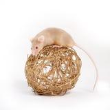 En nyfiken liten mus Arkivbilder