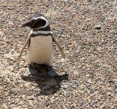 En nyfiken och löjlig pingvin. Patagonia. Arkivbild