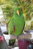 En nyfiken seende grön papegoja som sitter på en sittpinne arkivbild
