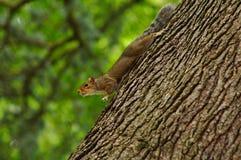 En nyfikna Squirrle fortfarande på a-träd Arkivfoton