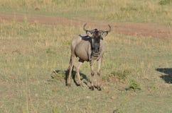 En nyfikna Wildebeast stirrar på främlingen i masaien Mara i Kenya, Afrika Arkivbilder