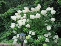 En oavkortad blom för litet vanlig hortensiaträd royaltyfri foto