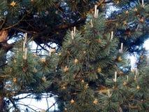En oavkortad blom för sörjaträd med ekollonar Arkivfoto