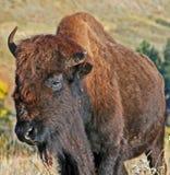 En och en halv horned Bison Buffalo i vindgrottanationalpark i Blacket Hills av South Dakota USA arkivfoto