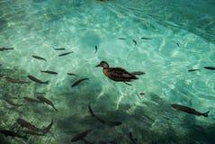 En and och mycket forell simmar i en klar turkossjö, Kroatien arkivbild