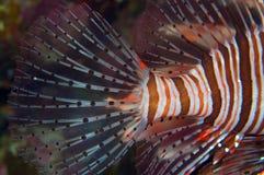 En oerhörd lionfish Royaltyfri Foto