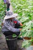 En oidentifierad klippfilialvattenmelon i växthus Royaltyfria Bilder