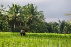 En oidentifierad man arbetar i riskoloni Tegalalang ris Te Arkivbilder