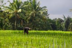 En oidentifierad man arbetar i riskoloni Tegalalang ris Te Arkivfoton