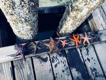 En olik grupp av sjöstjärnan ställde upp längs skeppsdockorna av Comox, B royaltyfri bild