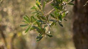 En olivgrön filial i Liguria royaltyfri bild