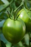 En omogen grön tomat på en filial Royaltyfri Foto