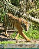 En onder ogen gezien tijger die loopt Stock Foto's