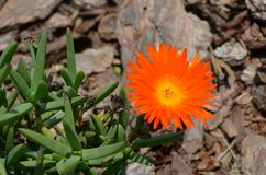 En orange blomma Royaltyfri Bild