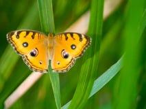 En orange fjäril på ett gräs royaltyfri bild