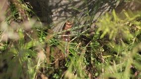 En orange larv kurade i gräset Caterpillar krypning på en sten Caterpillar på grässlut upp lager videofilmer