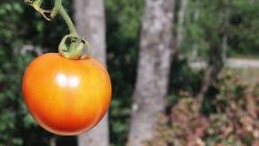 En orange tomat Arkivfoto