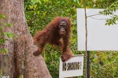 En orangutang kom ut och se någonstans, baserat på tecknet inget - röka Indonesien Fotografering för Bildbyråer