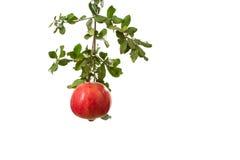 En organisk granatäpple i en trädfilial som isoleras på vit Royaltyfria Bilder