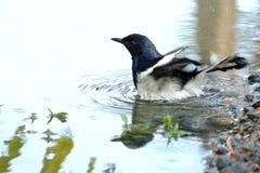 En orientalisk skatarödhakefågel som spelar i ett vatten med cirklade vågor royaltyfri foto