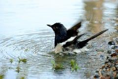 En orientalisk skatarödhakefågel som spelar i ett vatten med cirklade vågor arkivfoton
