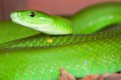 En orm för grön mamba som väntar för att slå Arkivfoto