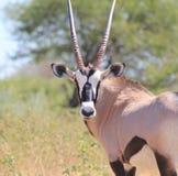 Afrikanskt djurliv - oryxantilop, Gemsbuck Royaltyfria Foton