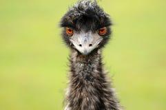 En ostrichs blick Arkivbilder