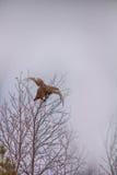 En otoño, alimentación del tetrix del Lyrurus del urogallo con los brotes Imagen de archivo libre de regalías