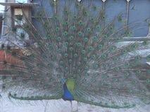 En påfågel Royaltyfri Fotografi